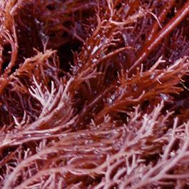 Skin Illuminating Ingredient Marimoist