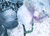 Orchid Stem Cells