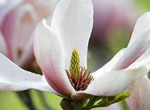 Earl Grey Tea and Magnolia leaves