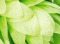 Botanical Hops Extract